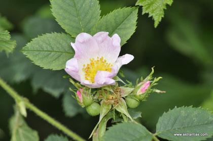 Rosa jundzillii-Rosa trachyphylla-Rosa marginata-Jundzills-Rose-Rauhblättrige Rose-Rosier de Jundzill-Rosa di Jundzill-Wildrosen-Wildsträucher-Heckensträucher-Artenvielfalt-Ökologie - Wildrose