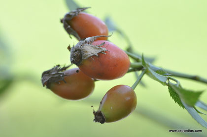 Rosa subcanina - Fast Hundsrose - Falsche Hundsrose - Faux Rosier des chiens - Rosa subcanina - Wildrosen - Wildsträucher - Heckensträucher - Artenvielfalt - Ökologie - Biodiversität - Wildrose