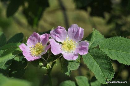 Rosa villosa - Rosa pomifera - Apfel-Rose - Rosier velu - Rosa pomo - Wildrosen - Wildsträucher - Heckensträucher - Artenvielfalt - Ökologie - Biodiversität - Wildrose