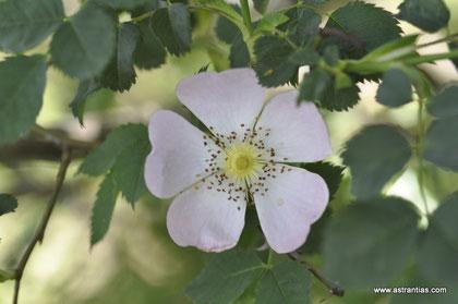 Rosa tomentella - Rosa obtusifolia - Flaum-Rose - Rosier à feuilles obtuses - Rosa a foglie ottuse - Wildrosen - Wildsträucher - Heckensträucher - Artenvielfalt - Ökologie - Biodiversität - Wildrose