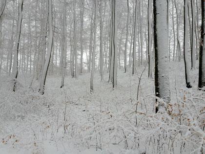 Verschneiter Buchenwald / Schwäb. Alb