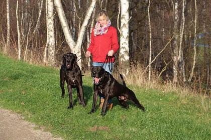 Deutsche Doggen in schwarz aus blau. Lanzelot von den elf Quellen und Soraya vom Römersee