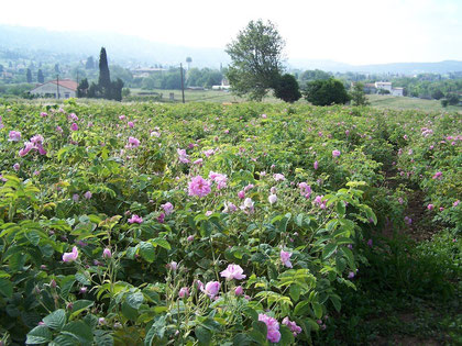 Champ de roses centifolia