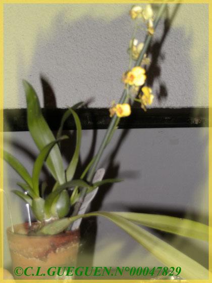 """Mon """" Kei """" Oncidium qui m'a fait le plaisir et m'a donnée de la joie pour fleurir après 4 ans d'attente!!!"""