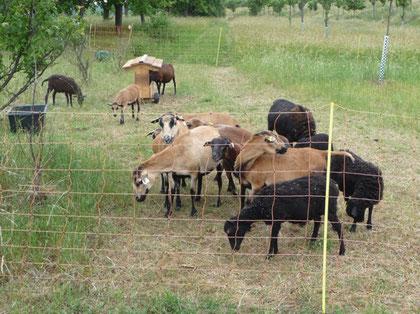 """Bei ausreichendem Platzangebot können auch """"unruhigere"""" Rassen wie das Kamerun-Schaf mit sogen. Schafsnetzen gehütet werden."""
