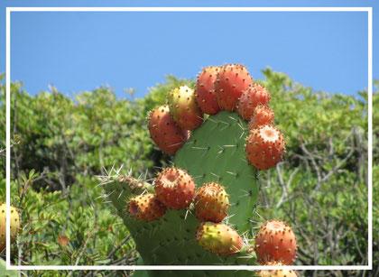 Kaktusfeige©christinaBecker