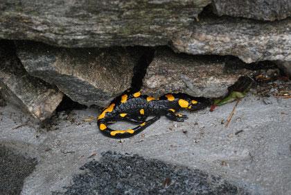 Gefleckter Salamander