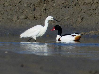 Phoques, phoques gris, phoques veaux marins, baie de Somme, sortie nature, randonnée, guide, spécialiste, oiseaux, Le Crotoy
