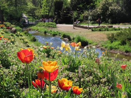 Bunte Tulpenpracht im Frühjahr. Foto: Klaus Kochendörfer