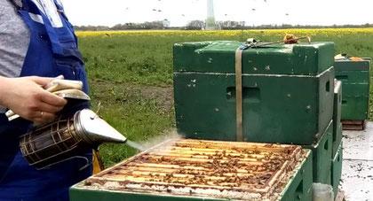 #Bienen #Imkern #Rapsfeld #Honigraumgabe #Smoker