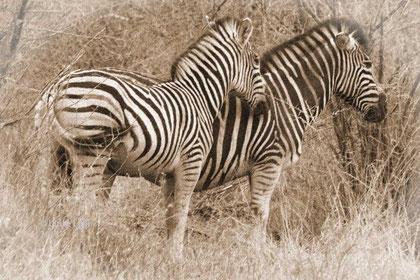 Zebras - in schwarz-weiss