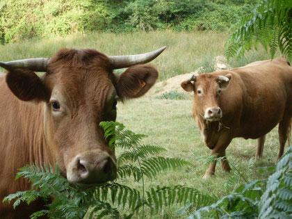 Vaches Limousines de la ferme BIO du Masbareau proche de Saint Léonard-de-Noblat en Limousin Haute-Vienne-Nouvelle-Aquitaine