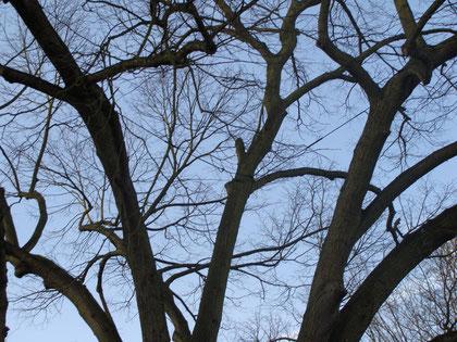 Haubanage Taille et soins aux arbres