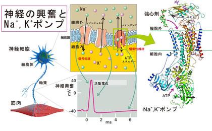 ナトリウム・カリウムポンプの立体構造