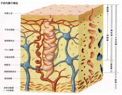 子宮内膜の構造