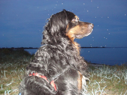 Leonberger Berner Sennen Hund