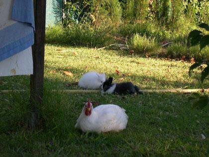 Pompon, Wirzur y mi pollo de corral