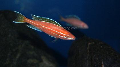 Paracyprichromis, Paracyprichromis nigripinnis, Paracyprichromis nigripinnis blue neon, Paracyprichromis nigripinnis blue neon albino