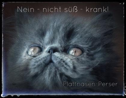 Perserkatze, Foto: pixabay.com