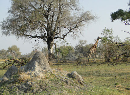 Giraffe changing to the next tree