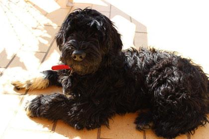 Die portugiesischen Wasserhunde an der Algarve - algarve-und