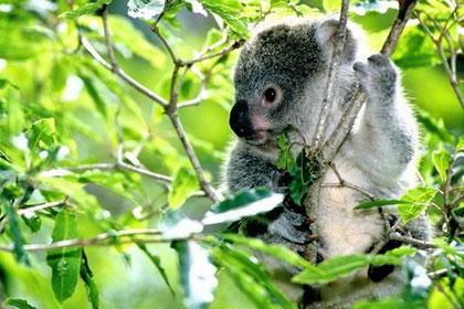 Koala mangeant des feuilles d'eucalyptus/ Crédit Photos: http://belleetcultivee.com/