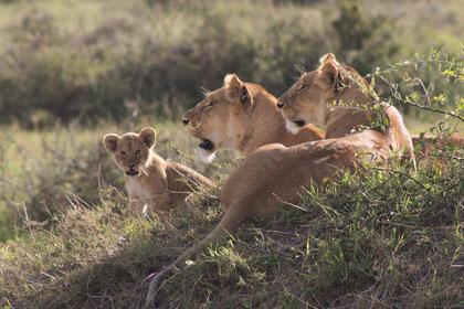 Zwei Löwinnen mit sieben Löwenbabys in der Masai Mara.