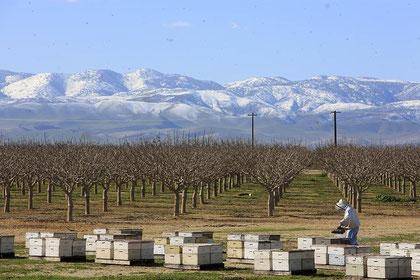 Biene auf Mandelblüten