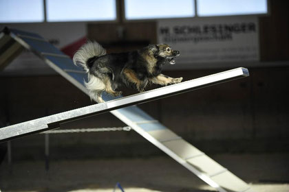 Mittelspitz Agility Wippe