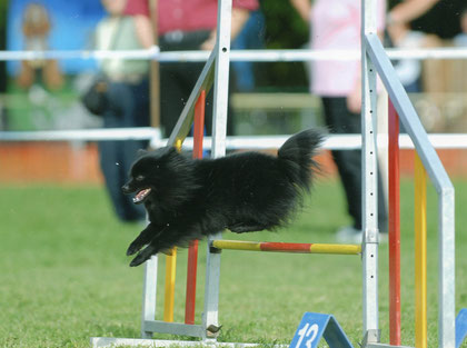 Kleinspitz am  Agility Turnier