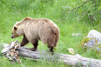 Der Braunbär im Zoo von Ranua in ziemlich natürlicher Umgebung