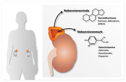 Die Lage der Nebennieren und ihr Aufbau im Querschnitt, Unterscheidung Nebennierenmark und Nebennierenrinde