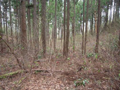 ピーク付近の杉林の林床に、カンアオイがあった。