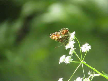 セリ科の草本で吸蜜中のサカハチチョウ(春型)。