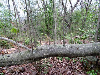 倒れて幹から垂直に枝を出すソヨゴ。