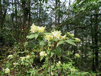 黄緑色の花を咲かせるヒカゲツツジ。