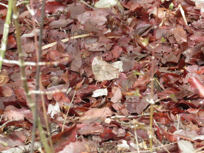 落ち葉に擬態するクロコノマチョウ。