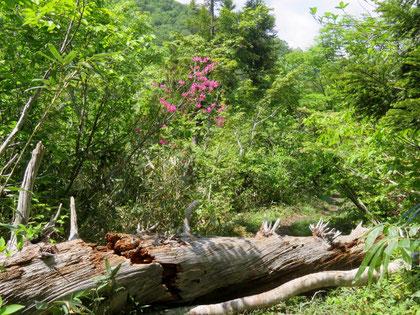 飛越新道は倒木が多かった。ムラサキヤシオが若葉に映えて美しい。