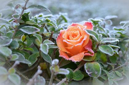 Bild: Wintergarten: eine Rose mit Raureif