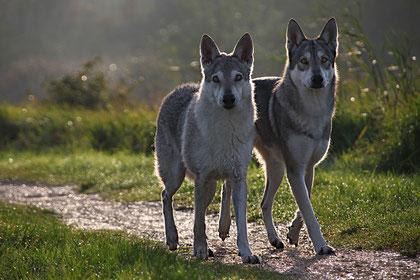 Timish + Flynn sind zwei Saarloos-Wolfshunde und gute Freunde von mir!