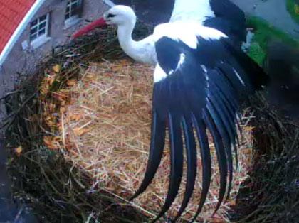 Unser Storch beim Abflug vom Nest...