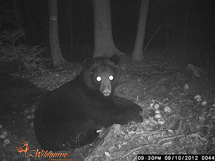 A North American Black Bear (Ursus americanus) in the woods at Distant Hill Gardens.