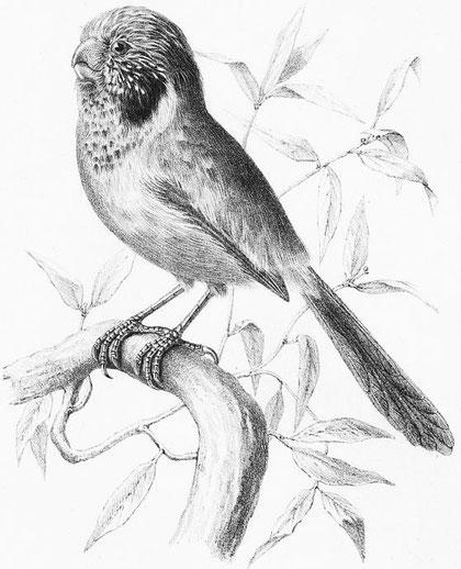 Paradoxornis guttaticollis