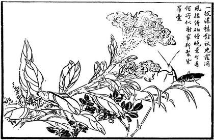 Fleur de Ki-kouan (amaranthe crête-de-coq)