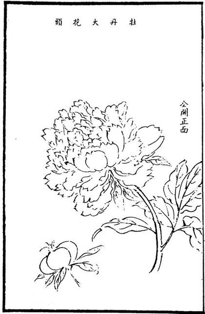 Grande fleur de pivoine. Entièrement ouverte et vue de face.