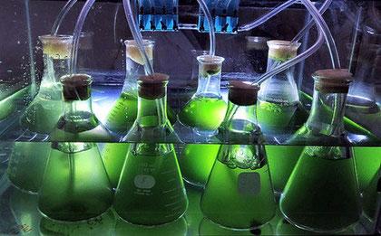 ceppi d'alga