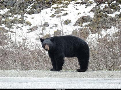 Un ours noir cherchant à manger en bordure de la route