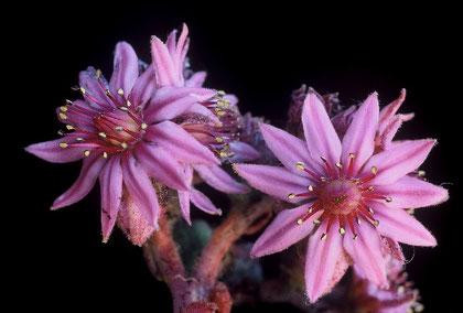 Blüten der Hybride, Regionalpark Sirente-Velino, Abruzzen, Foto: Mariangela Costanzo, alle Rechte vorbehalten