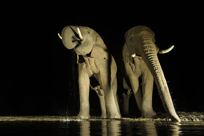 Elephants dance at the waterside at night