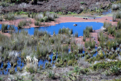 Brilliant colours in the brackish pools of the Okia Flats Reserve. Covered with duckweed (Lemna minor L.)